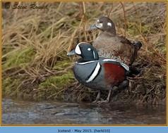 harlequin-duck-10.jpg