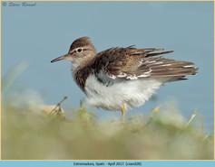 common-sandpiper-28.jpg