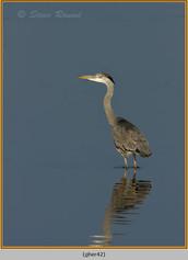 grey-heron-42.jpg