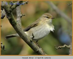 willow-warbler-16.jpg
