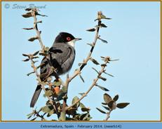 sardinian-warbler-14.jpg