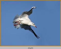 black-headed-gull-49.jpg