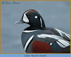harlequin-duck-14.jpg