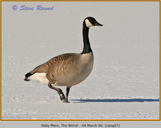 canada-goose-07.jpg