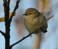 humes-warbler-03.jpg
