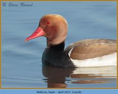 red-crested-pochard-18.jpg