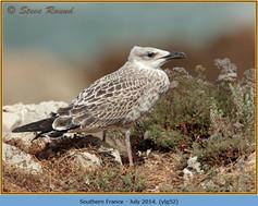 yellow-legged-gull-52.jpg