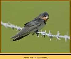 swallow-07.jpg