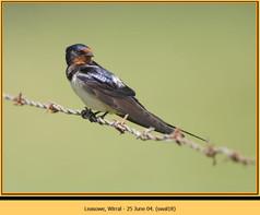 swallow-18.jpg