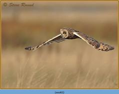 short-eared-owl-83.jpg