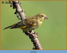 greenfinch-66.jpg