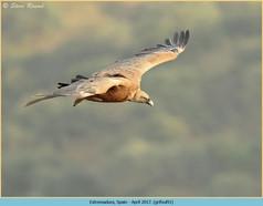 griffon-vulture-91.jpg