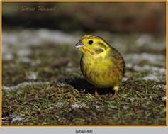 yellowhammer-49.jpg
