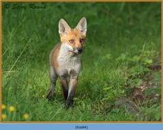 fox-84.jpg