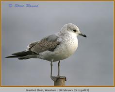 common-gull-12.jpg