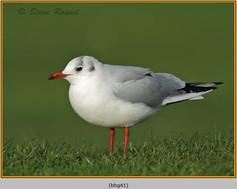 black-headed-gull-41.jpg