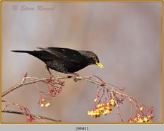 blackbird-81.jpg