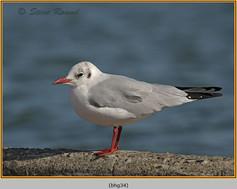 black-headed-gull-34.jpg
