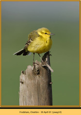 yellow-wagtail-14.jpg