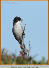 sardinian-warbler-12.jpg