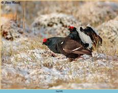 black-grouse-108.jpg