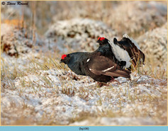 black-grouse-108.jpg