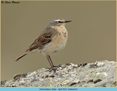 water-pipit-21.jpg
