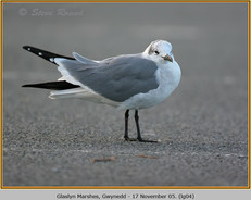 laughing-gull-04.jpg