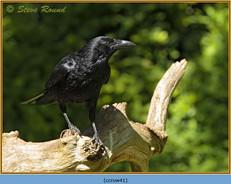 carrion-crow-41.jpg