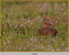 red-grouse-108.jpg