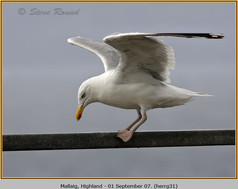 herring-gull-31.jpg