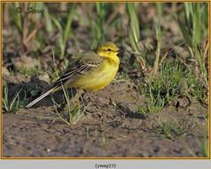 yellow-wagtail-23.jpg