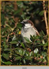 house-sparrow-32.jpg