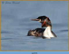 great-crested-grebe-54.jpg