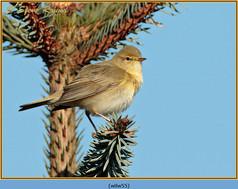 willow-warbler-55.jpg