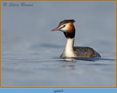 great-crested-grebe-57.jpg