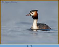 great-crested-grebe-57.jpg