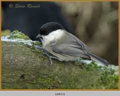 willow-tit-12.jpg