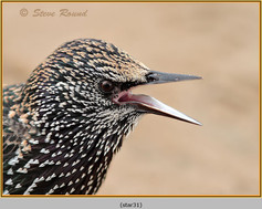 starling-31.jpg