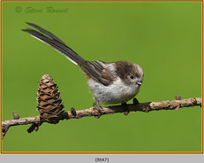 long-tailed-tit-47.jpg