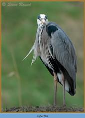 grey-heron-56.jpg