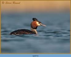 great-crested-grebe-71.jpg