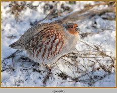 grey-partridge-07.jpg
