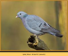stock-dove-01.jpg