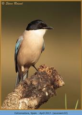 azure-winged-magpie-32.jpg