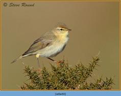 willow-warbler-40.jpg