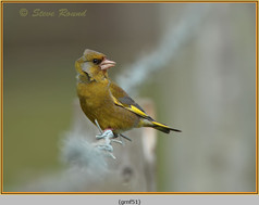 greenfinch-51.jpg