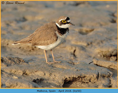 little-ringed-plover-50.jpg