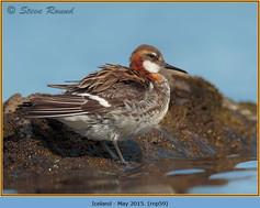 red-necked-phalarope-59.jpg
