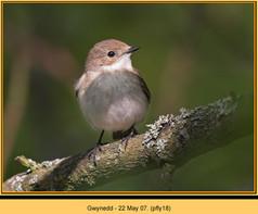 pied-flycatcher-18.jpg